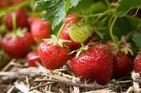Zagranica praca sezonowa dla studentów przy zbiorach truskawek od czerwca
