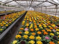 Od zaraz sezonowa praca w Holandii przy kwiatach w szklarni bez języka