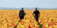 Ogrodnictwo sezonowa Holandia praca przy kwiatach od zaraz bez języka Venlo