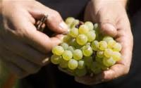 Winobranie oferta sezonowej pracy w Niemczech zbiory winogron od września
