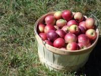 Norwegia praca sezonowa od zaraz przy zbiorach jabłek okolice Drammen