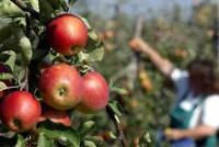 Od zaraz Niemcy praca sezonowa zbiory jabłek, gruszek okolice Drezna
