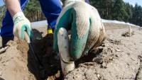 Sezonowa praca Niemcy zbiory szparagów od kwietnia 2016 bez języka Drezno