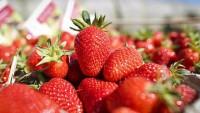 Dania praca sezonowa od czerwca 2016 zbiory truskawek Randers na plantacji
