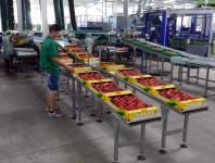 Bez znajomości języka od zaraz praca Szwecja w Norrköping pakowanie owoców