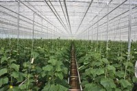 Sezonowa praca Holandia bez znajomości  języka zbiory ogórków szklarnia w Venlo