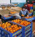 Dam od zaraz fizyczną pracę w Danii bez znajomości języka przy sortowaniu owoców Odense