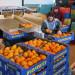 sortowanie owocow egzotyczne cytrusy2