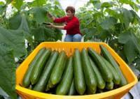 Sezonowa praca w Niemczech przy zbiorach warzyw w szklarni 2016