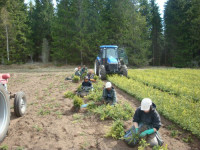 Kobieta do sezonowej pracy w Szwecji przy zbiorach sadzonek świerku i sosny Timmele