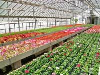 Sezonowa praca w Holandii dla kobiet bez języka w ogrodnictwie Naaldwijk