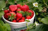 Anglia praca sezonowa zbiory truskawek bez znajomości języka Ledbury