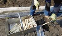 Oferta sezonowej pracy w Niemczech przy zbiorach szparagów bez języka Bawaria