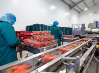 Dam pracę w Holandii przy pakowaniu truskawek, borówek amerykańskich (Venlo)
