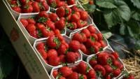 Ogłoszenie sezonowej pracy w Holandii od zaraz przy zbiorze truskawek