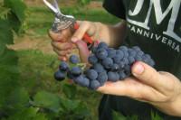 Sezonowa praca w Niemczech od zaraz zbiory winogron bez znajomości języka Bonn