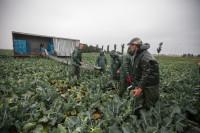Oferta sezonowej pracy w Szwecji od zaraz przy zbiorach warzyw bez języka