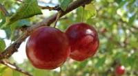 Dam sezonową pracę w Anglii, Hereford UK przy zbiorach warzyw i owoców od zaraz