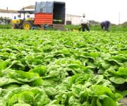Sezonowa praca w Anglii Rainford przy zbiorze warzyw na polu od zaraz