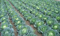 Od zaraz sezonowa praca Anglia przy zbiorach warzyw w okolicach Chippenham