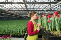 Sezonowa praca Holandia bez języka w ogrodnictwie Haga od zaraz przy kwiatach