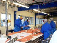 Praca w Danii na produkcji w przetwórni ryb styczeń 2017 z j. angielskim