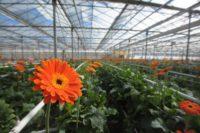 Ogrodnictwo praca Holandia sezonowa w szklarni przy kwiatach, Westland 2017