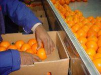 Bez znajomości języka Dania praca od zaraz pakowanie owoców Næstved 2017