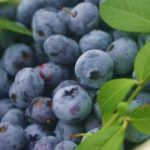 Ogłoszenie sezonowej pracy w Anglii zbiory truskawek, malin, borówki 2017 Littlehampton