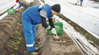 Ogłoszenie sezonowej pracy w Niemczech zbiory szparagów od kwietnia 2017