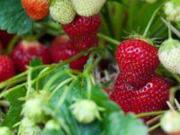 Oferta sezonowej pracy w Holandii od zaraz przy zbiorze truskawek w szklarni Venlo