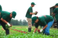 Oferta sezonowej pracy w Niemczech przy zbiorach warzyw bez języka Cappeln
