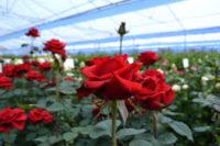 Dla par sezonowa praca w Holandii bez języka w ogrodnictwie przy kwiatach