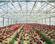 Ogłoszenie sezonowej pracy w Danii przy kwiatach w szklarni Marslev 2017