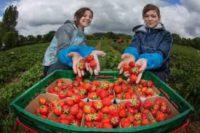 Holandia praca sezonowa przy zbiorach owoców miękkich od zaraz 2017