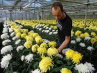 Ogrodnictwo praca w Holandii przy kwiatach – pielęgnacji chryzantem Panningen