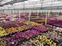 Pracownik szklarni – praca w Holandii przy kwiatach Hortensje w ogrodnictwie