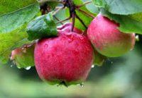 Zbiory jabłek od zaraz oferta sezonowej pracy w Anglii bez języka Wisbech