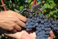 Niemcy praca sezonowa bez znajomości języka przy zbiorach winogron Kröv