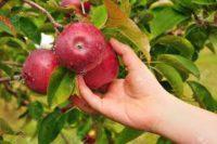 Od zaraz sezonowa praca w Niemczech przy zbiorach jabłek bez języka Cottbus