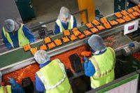 Praca w Holandii od zaraz przy pakowaniu i sortowaniu marchwi w Baarlo