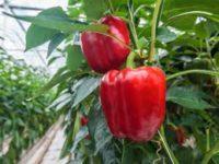 Od zaraz sezonowa praca Anglia przy zbiorach warzyw bez znajomości języka Exeter