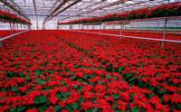 Ogłoszenie sezonowej pracy w Anglii od zaraz przy kwiatach bez języka Cambridge