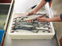 Praca w Danii od zaraz na produkcji rybnej bez znajomości języka, Skagen
