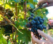 Praca Anglia sezonowa od zaraz zbiory winogron bez znajomości języka Portsmouth