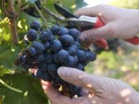 Niemcy praca sezonowa od zaraz bez znajomości języka zbiory winogron Walldorf