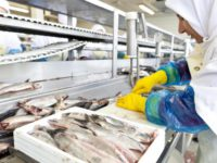 Dania praca na produkcji od zaraz jako pracownik przetwórni rybnej, Jutlandia