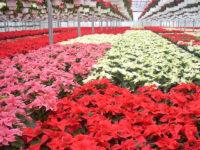 Ogrodnictwo sezonowa praca w Belgii przy kwiatach – pracownik szklarni, Buggenhout