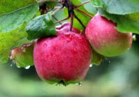 Zbiór jabłek i gruszek Holandia praca sezonowa 2019 Goes