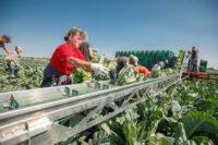 Dam sezonową pracę w Szwecji przy zabiorach warzyw od zaraz 2019 Helsingborg